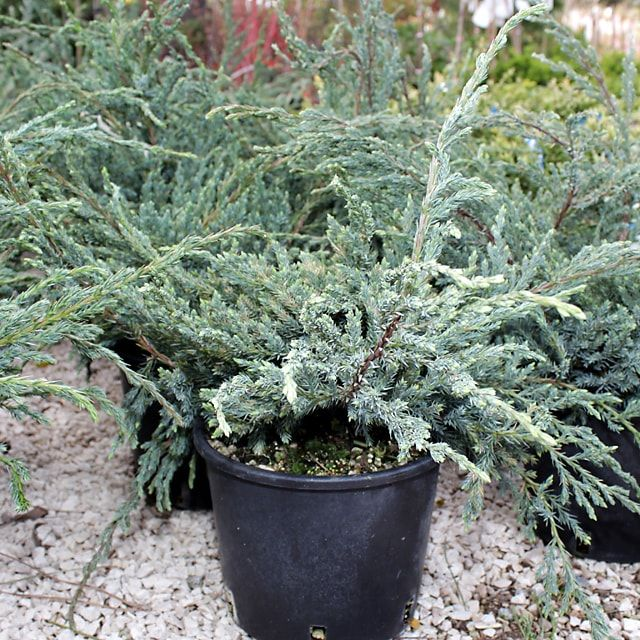 #Piante Tappezzanti #Juniperus Blue Carpet - Spedizione Gratuita da €50 @EuroPlantsVivai