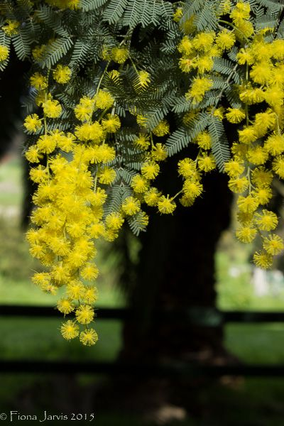 "L2M1AS1 Part A: Exposure Compensation ""Winter Wattle"" Still subject in full sun, Canon 600D, P mode, AF, handheld, no flash, WB sunlight, ISO 200, FL 49mm, 1/100 sec, f/14, JPEG exported LR"