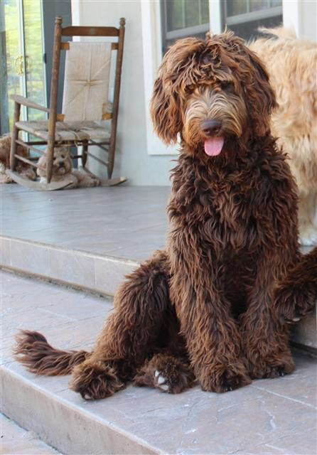 Image from http://www.goldendoodlesofniagra.com Chocolate Goldendoodle
