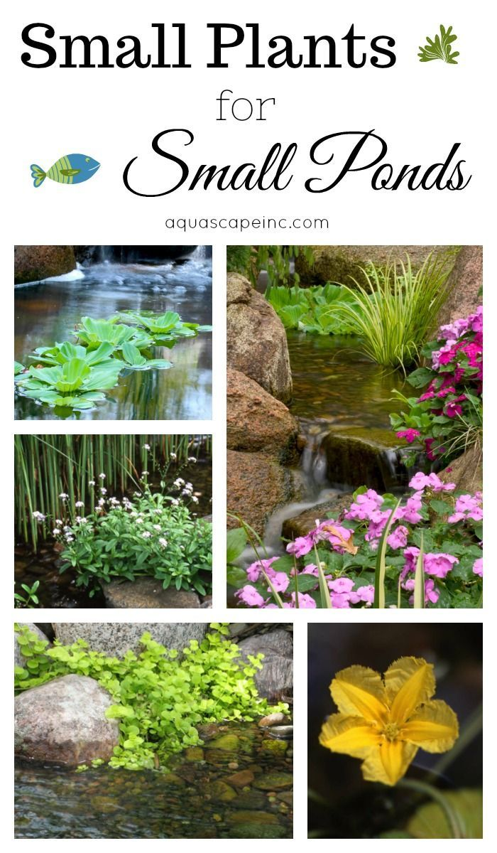 Small Plants For Small Ponds Ponds Backyard Water Plants For