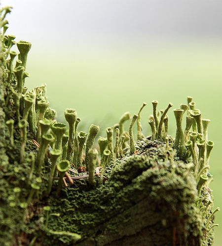 Lichen - a symbiotic combination of photosynthesizing algae and fungus