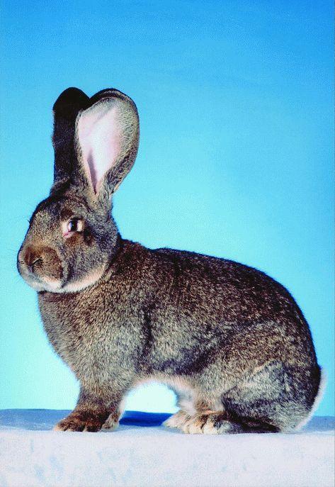 die besten 25 kaninchenrassen ideen auf pinterest haustier h schen zwergwidder und holland. Black Bedroom Furniture Sets. Home Design Ideas