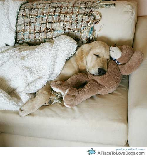 If this was a schnauzer, I would think it was Sadie!!  She loves her bear and blanket too!!