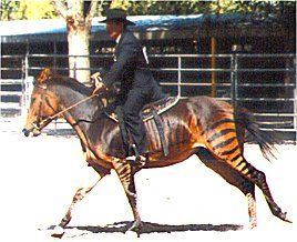 Zorse - a horse/zebra hybrid, although this one looks more like a tiger.