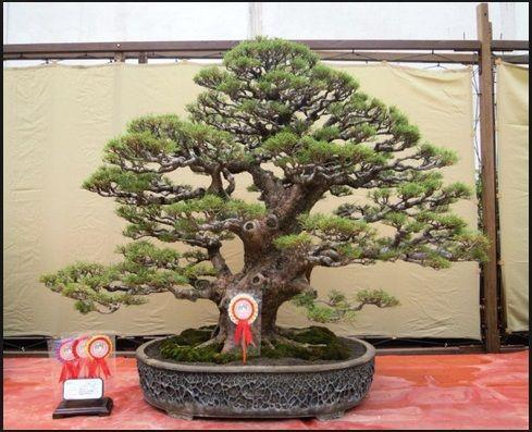 bonsai-indonesia-2016