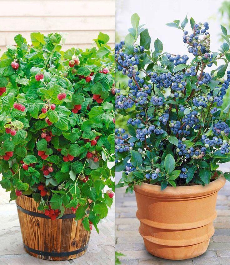 Topf-Heidelbeere 'Blue Parfait®' & Topf-Himbeere 'Ruby Beauty®'