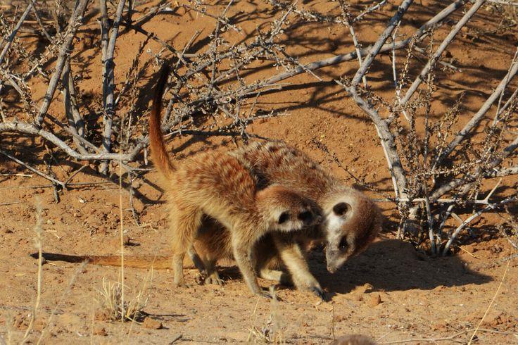 Meerkat (Suricate) with young.
