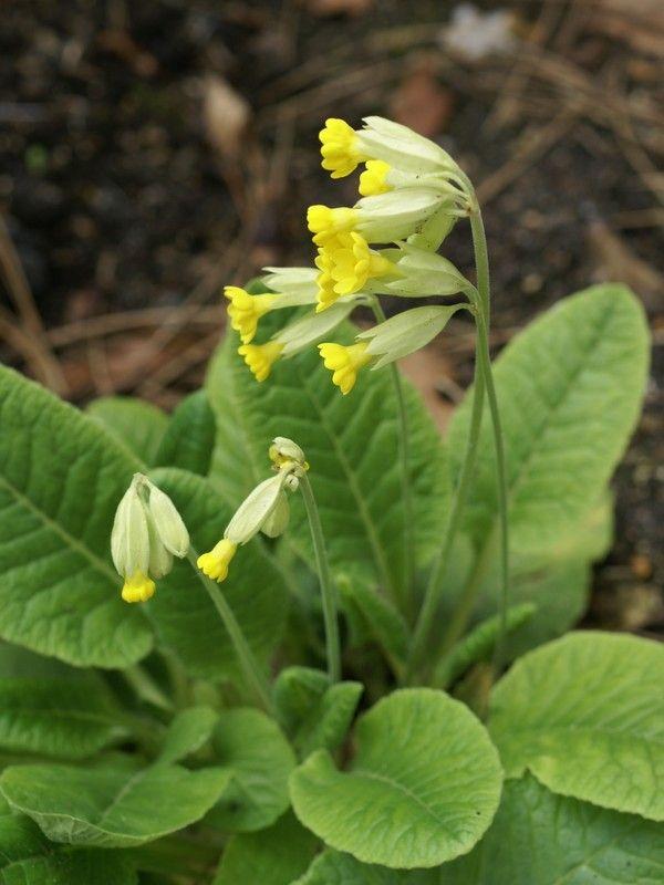 Photos de fleurs : Primevère officinale - Coucou - Primevère de printemps - Primula veris - Cowslip primrose