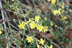 Gelber Winterjasmin (Jasminum nudiflorum) graciana.de