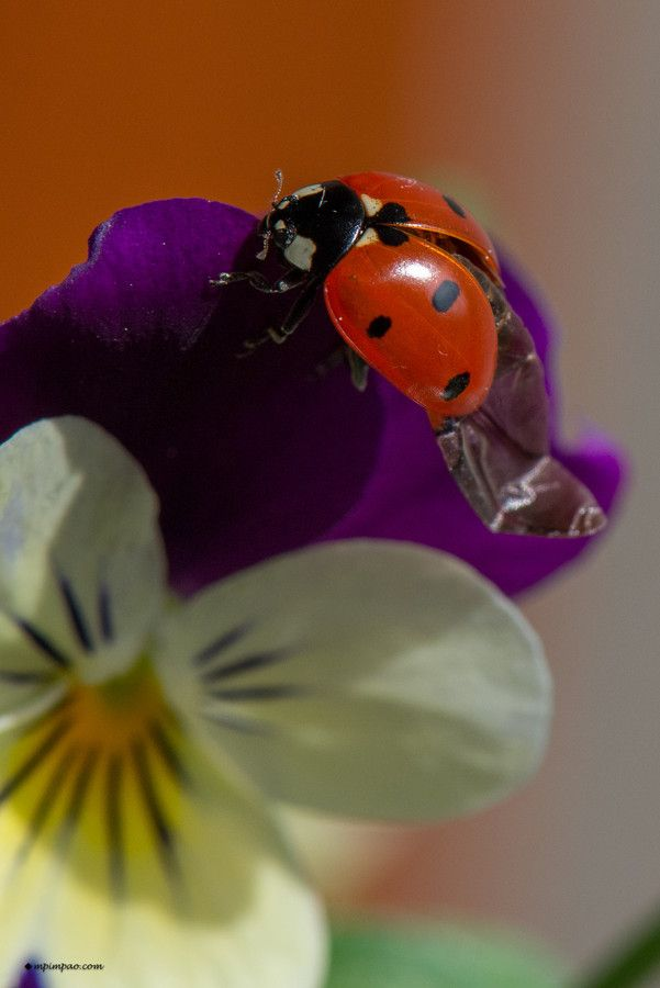 Ladybug deploying its wings by Marco P on 500px