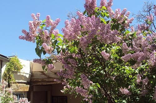 The Taos Lilac Festival Information Booth operated by Rio Grande Ace Hardware and members of Los Jardineros Garden Club has lilac care and planting advice, a variety of lilac and gardening products including live lilac bushes for sale and a Lilac Walking Tour Map of the Taos Historic District. May 15-17, 2015