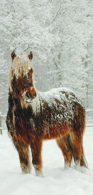 Wild Snow Covered Horse Sable Island, Nova Scotia Canada