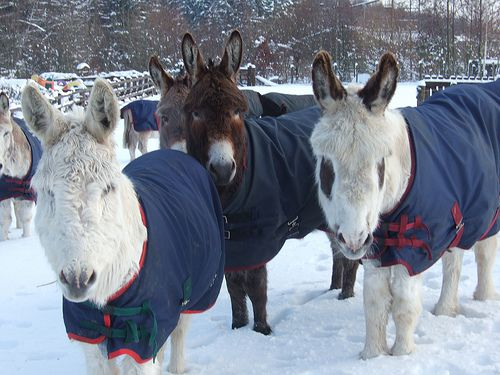 Donkeys enjoy snow at The Donkey Sanctuary's Donkey Assisted Therapy centre in Leeds. Photo copyright of The Donkey Sanctuary | Flickr - Pho...