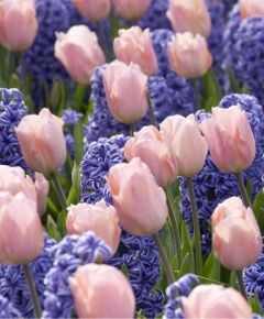Tulip Apricot Beauty paired with purple hyacinth - Van Engelen Flower Bulbs