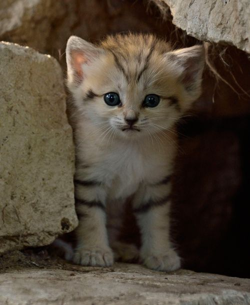 After 63 days of gestation, a rare Sand Cat Kitten was born at Israel's Zoological Center Tel Aviv Ramat Gan - Safari. Once plentiful in numbers in the dunes of Israel, the Sand Cat has become extinct in the region. This is Safari Zoo's first successful Sand Cat birth and it is hoped this kitten will join Israel's Sand Cat Breeding Program in order to help reintroduce the species into the wild.