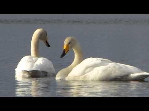 Лебединая песня в Варкаусе. Swan Song in Varkaus