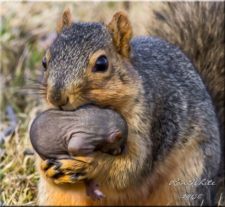 mamma squirrel with her tiny, bald, sweet baby