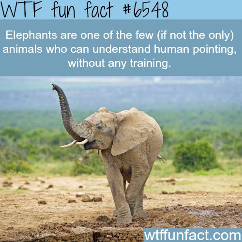 Elephants - WTF fun facts