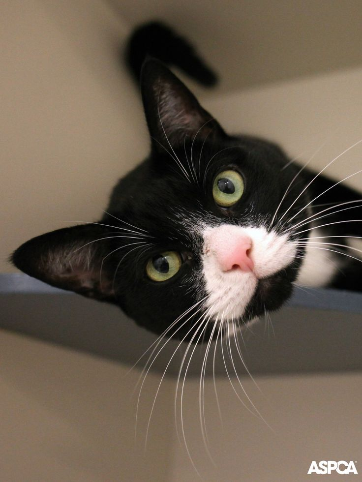Seven year-old Tyra is a friendly cat who loves attention from her favorite people. This pretty lady will play with any toy she can get her paws on—especially ones attached to strings or wires that she can chase. Adopt Tyra today! http://www.aspca.org/blog/aspca-pet-week-tyra