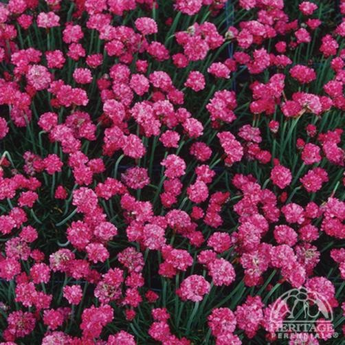 Armeria maritima Dusseldorf Pride Pink Thrift - USDA Zone: 2-9 Thrift is a durable perennial for most any sunny location. Good rock garden or edging plant. Also excellent in tubs or mixed containers