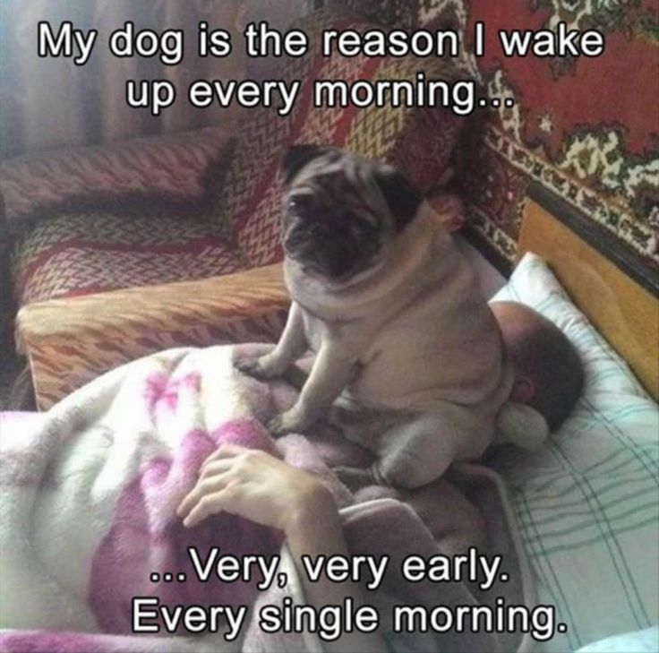 Is your Pug an alarm clock, too?  ・・・ www.jointhepugs.com ・・・