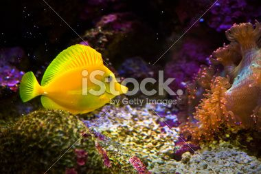 zebrasoma salt water aquarium fish Фотография роялти-фри