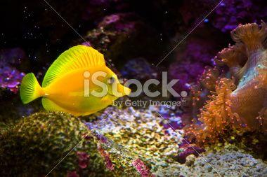 zebrasoma salt water aquarium fish Фотография роялти-фри