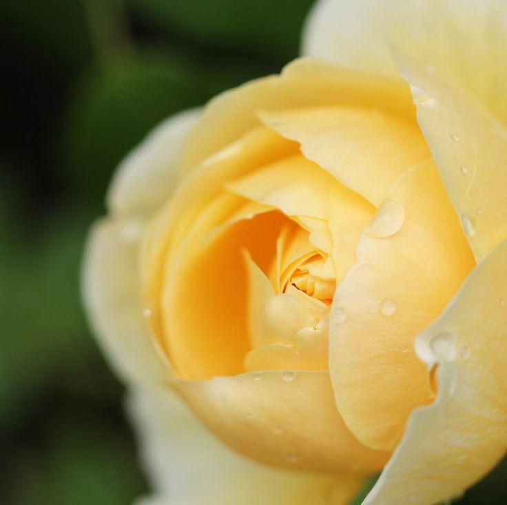 ☆ 雨上がりの薔薇 ☆ ☆ 今日の午後 突然の雨にやられたヒト〜 はぁーい���� ☆ ☆ #�� #薔薇 #バラ #雫 #水滴 #はなまっぷ #ザ花部 #お写んぽ #東京カメラ部 #一眼レフ #単焦点 #マクロレンズ #写真好きな人と繋がりたい #花好きな人と繋がりたい #ファインダー越しの私の世界 #東京カメラ部 #nature #rose #japan #flowers #takeawalk #flowerstagram #flowerslovers #dof_brilliance #nature_brilliance #japan_daytime_view #my_daily_flower #team_jp_flower #canoneos #canoneos80d http://gelinshop.com/ipost/1517414227522137133/?code=BUO8DNIlKwt