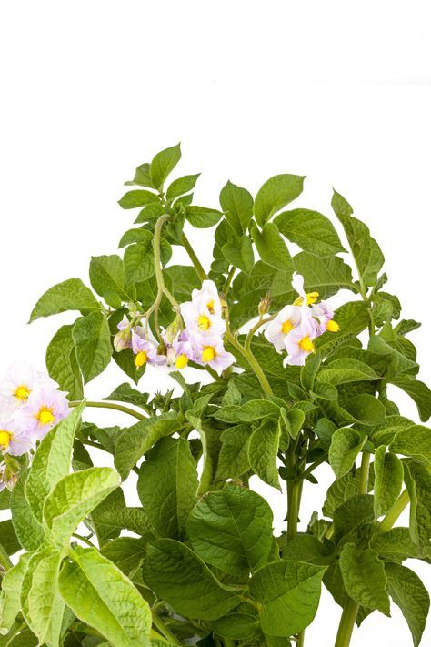 come-coltivare-patate-in-vaso(1)