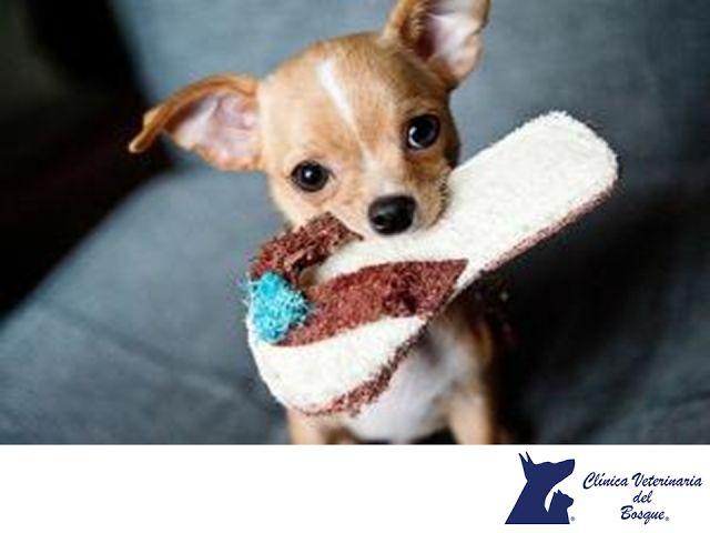 CLÍNICA VETERINARIA DEL BOSQUE. ¿Cómo cuidar a un perrito de la raza chihuahueño? Aunque se trata de perros pequeños, los chihuahueños son muy territoriales y celosos con sus dueños, por ello es muy importante que enseñes a tu mascota a compartir con quienes visitan tu hogar y también con otros perros o mascotas desde el momento en el que llegan a casa. En Clínica Veterinaria del Bosque, contamos con excelentes médicos y etólogos para la atención de ese miembro de la familia. #veterinaria