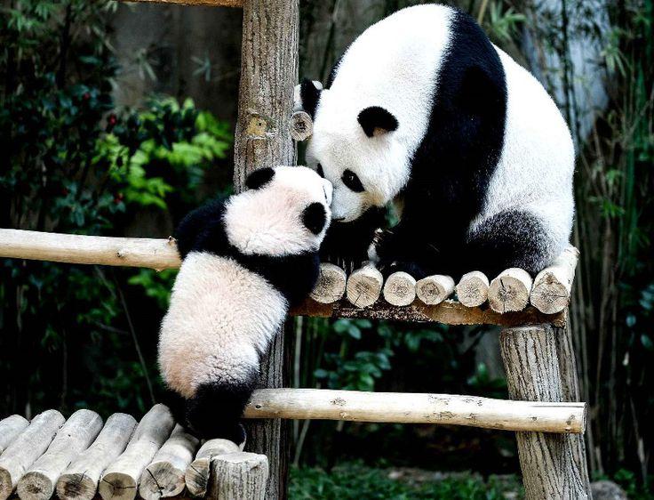 Panda âgé de 6 mois jouant avec sa maman Liang Liang au zoo de Kuala Lumpur (Malaisie).