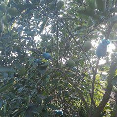 Cây giống bưởi Diễn chiết cành - với đặc điểm nhanh có trái , sức sống dẻo dai , kế thừa nhiều đặc tính quý báu cây mẹ khiến người mua ngày càng ưa chuộng