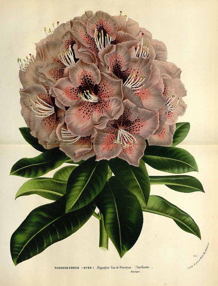 147855 Rhododendron hybr. cv. Hippolyte Van de Woestyne / Houtte, L. van, Flore des serres et des jardin de l'Europe, vol. 22: t. 0  (1845)