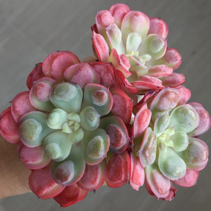 Echeveria frill raindrops succulents