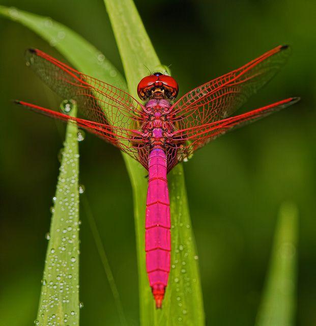 * Male Crimson Dropwing ~ by Troup1 *