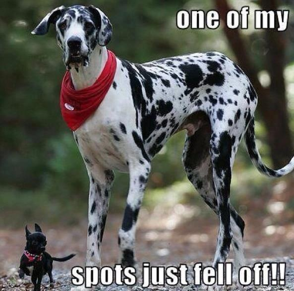 Too funny!!!!! Would love a great dane~C