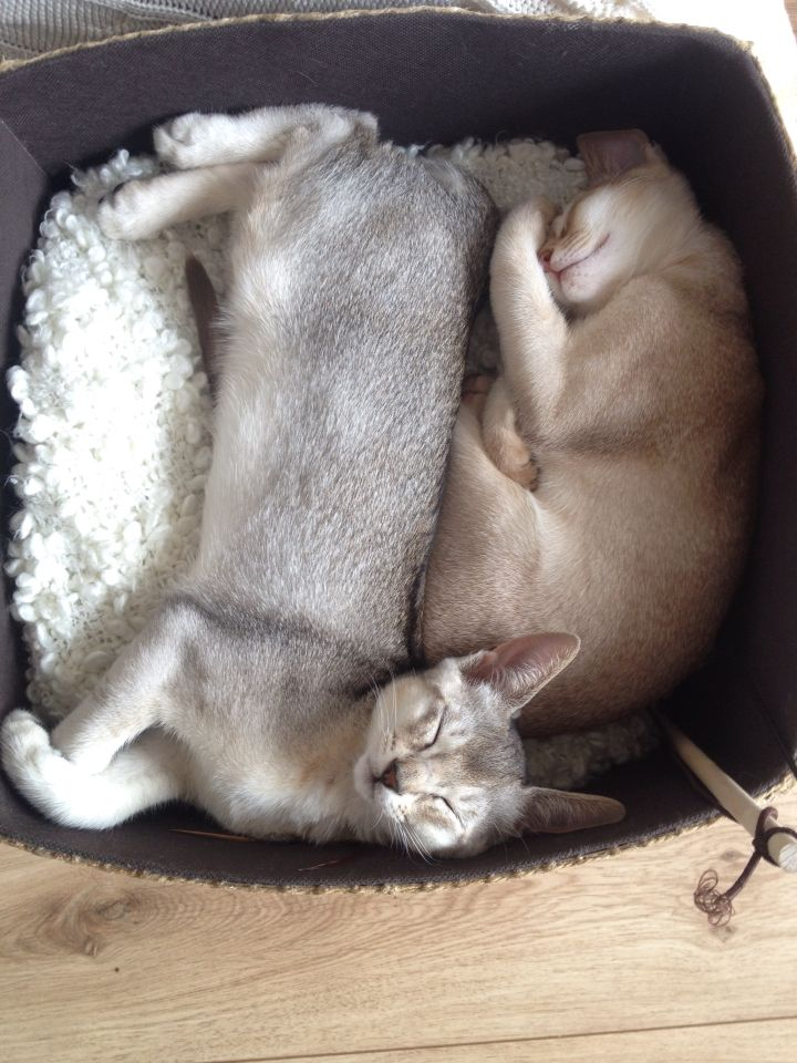 Abessijn Kitten Galo & Neves <3