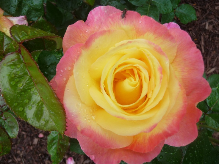 110 Best Images About Two Tone Roses On Pinterest