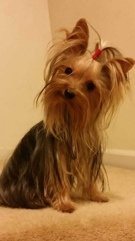 Tomas, another Yorkie that enjoys clean ears with EcoEars. Find it here: http://www.vet-organics.com/product/ecoears-dogs/