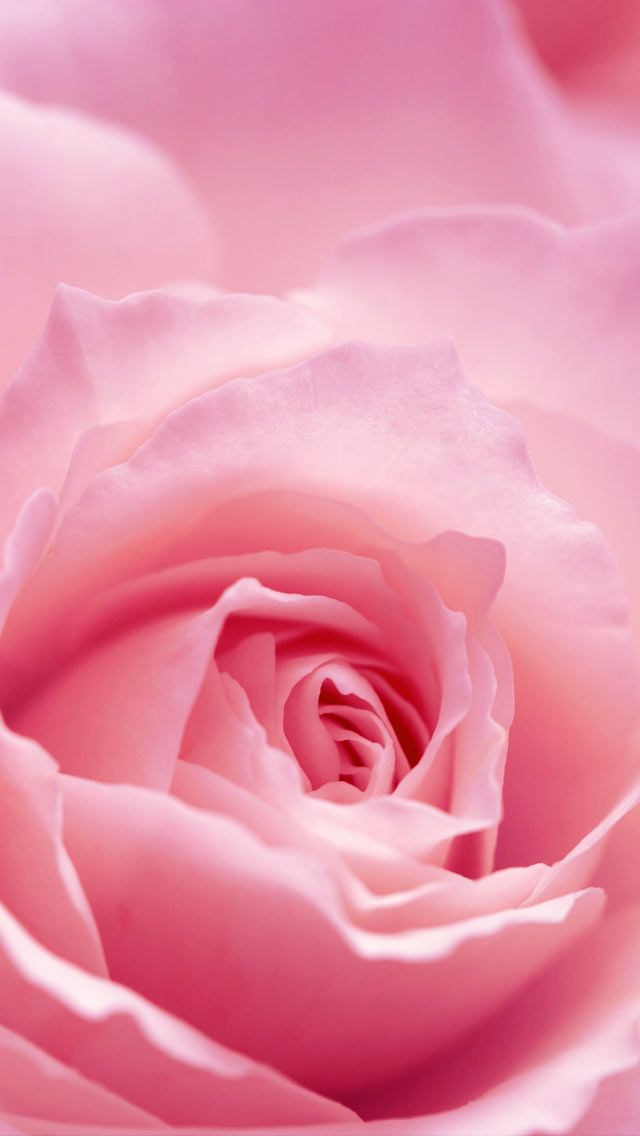 Iphone Retina Wallpapers Light Pink Rose Flower Hd Wallpaper