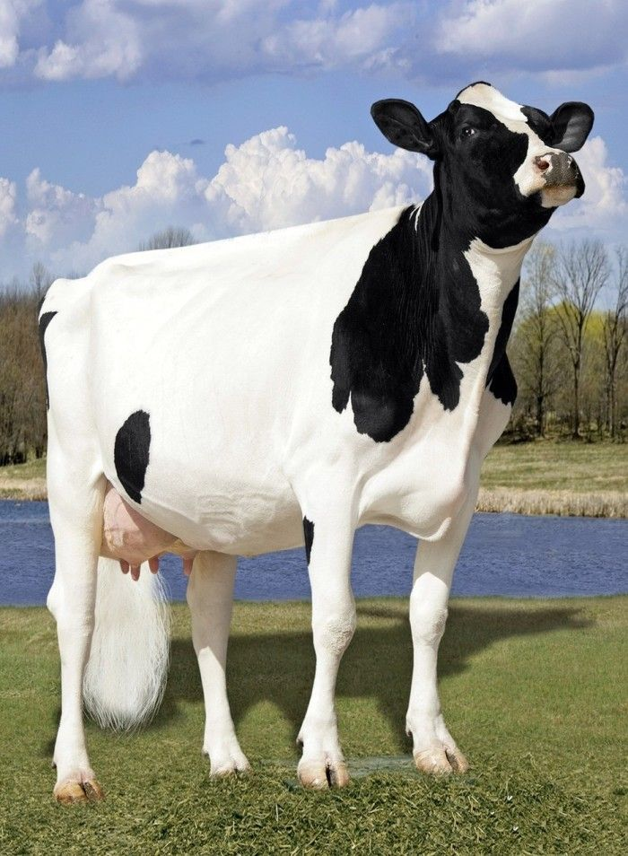 The world's most expensive cow called Missy and costs $1.2 million