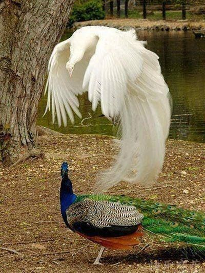 Beautiful peacock and albino peacock!
