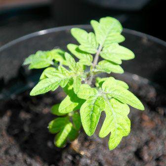 tomaten kweken, binnen, vensterbank, groenten, moestuin