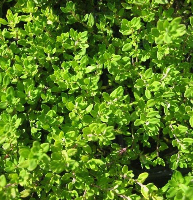 zitronenthymian - duftpflanzen & kräuter :: syringa pflanzen, Terrassen ideen
