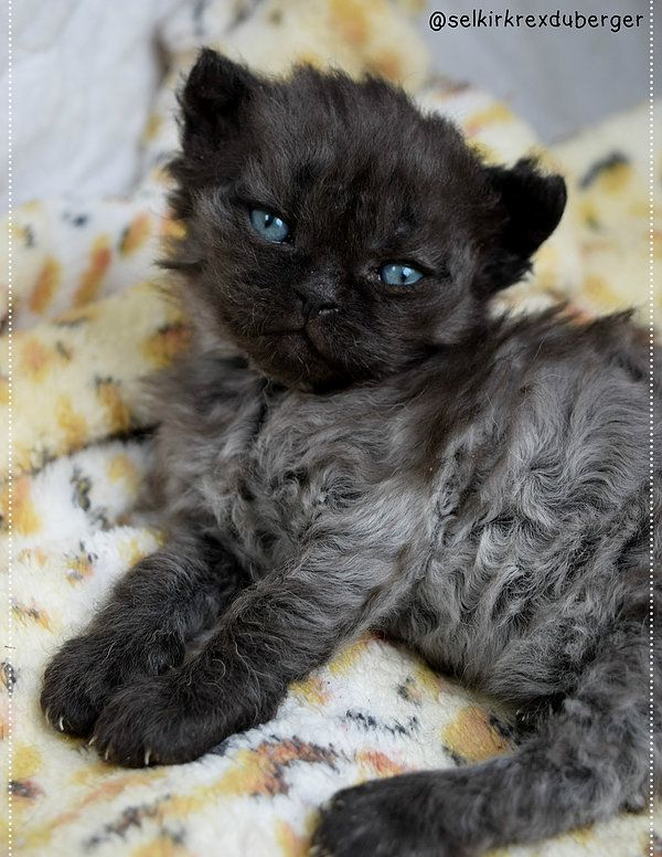 Chat Mouton Selkirk Rex Chaton A Vendre Pretty Cats Cute Cats And Kittens Cat Breeds