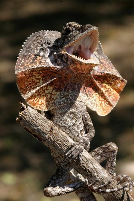 Frill Neck Lizard or Dragon (Chlamydosaurus kingii) Australia and New Guinea (evolved from dragons of course)