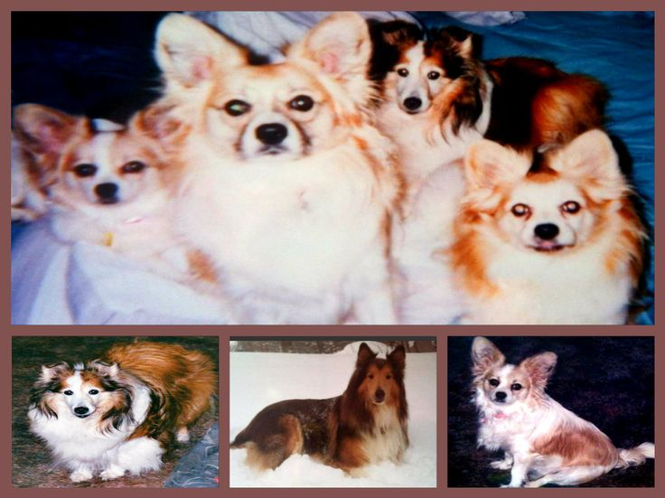 My Babies in Heaven....Sassie,Bandit,Schnip ( Sheltie),Gizmo and JD (Collie}  rest are Papilion's