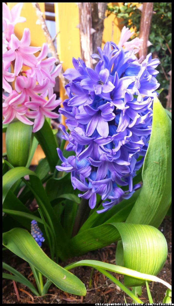 hiacynty #kwiaty #flowers #polish flowers #polskie kwiaty #kwiatki #kwiaty ogrodowe #kwiaty polne #kwiaty leśne #przebiśniegi #śnieżyczki #pierwiosnki #kwiaty wiosenne #wiosna #spring #krokusy #przebiśniegi #hiacynty #przyroda #natura #kwiaty wiosenne #spring flowers #polish flowers #Polskie kwiaty #ogród #garden #ogrodnictwo #ogrodnik #garden-flower