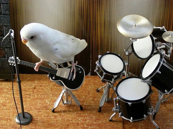 One budgie band