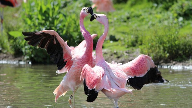 flamingo birds dancing samsung note5 wallpaper hd download